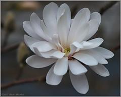 Star Magnolia (2.2 Million + views!!! Thank you!!!) Tags: canon eos rebel t4i pspx9 paintshopprox9 efex canada ontario outdoors 100400mm canonef100400mm starmagnolia magnolia flower tree nature