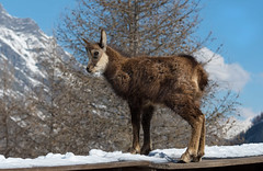 Il piccolo camoscio (marypink) Tags: rupicaprarupicapra camoscio valsavaranche parconazionalegranparadiso bovidae caprinae nikond500 nikkor80400mmf4556 snow valledaosta