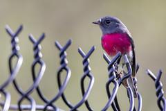 Rose Robin 2017-04-24 (60D_0138) (ajhaysom) Tags: roserobin petroicarosea woodlandshistoricpark greenvale melbourne australia australianbirds canoneos60d sigma150600
