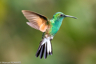 Stripe-tailed hummingbird, male