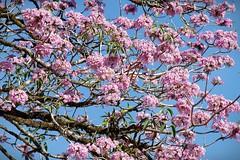 Sus Flores (Roberto Segura) Tags: roble sabana pink trumpet tree rosy trees tabebuia rosea bignoniaceae plant plants costarica pentax pentaxart pentaxlife ks2
