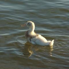 baby_duck2
