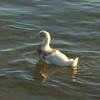 baby_duck2 (Astyan42) Tags: oiseau babyduck duck