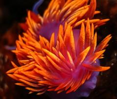 Flabellina iodinea (willgoddard) Tags: flabellina nudibranch ocean tidepools californiacoast california spanishshawl carpinteria santabarbara seaslug mollusk iodinea