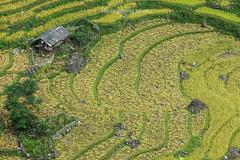 _Y2U0313.0915.Lìm Mông.Cao Phạ.Mù Cang Chải.Yên Bái (hoanglongphoto) Tags: asia asian vietnam northvietnam northwestvietnam landscape scenery vietnamlandscape vietnamscenery vietnamscene outdoor terraces terracedfields terracedfieldsinvietnam harvest home house dale landscapewithpeople people canon canoneos1dx tâybắc yênbái mùcangchải caophạ lìmmông thunglũng thunglũnglìmmông phongcảnh phongcảnhcóngười người ruộngbậcthang ruộngbậcthangmùcangchải lúachín mùagặt mùagặtmùcangchải lúachínmùcangchải canonef70200mmf28lisiiusmlens