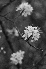 prunus spinosa in evening light  IV (pancolar user) Tags: prunus spinosa weiss white pentacon 1850mm