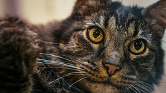 His Grace (danielledufour430) Tags: cat feline kitten kitty pet animal mammal carnivore tsunami furry face whiskers cute friendly sonya6000 meow