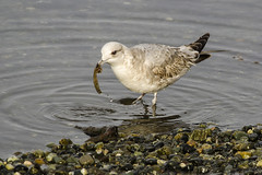 20170324 Oak Bay Mew Gull with Sea Worm (Robert Harwood) Tags: gull seagull mew oakbay victoria vancouverisland britishcolumbia canada bird shore
