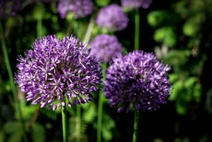 Allium (mp13 nhnc) Tags: purple green flowers garden bokeh dof stems blooms blossoms plants landscape onion shadows highlights