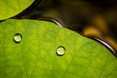 Water Drops on Lily Pad 3-0 F LR 3-19-17 J149 (sunspotimages) Tags: drops drop waterlily waterlilypad waterdrops nature macroflowerlovers macro closeup green lily lilypad