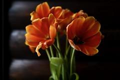 #tulips# (evaeblonski) Tags: tulips