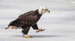 IMG_5942 Bald Eagle (Wallace River) Tags: aboiteau baldeagle bito icefishing wallacebay