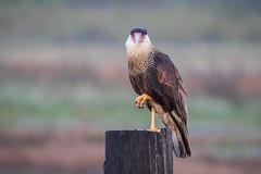 Post Up (gseloff) Tags: crestedcaracara falcon bird wildlife rettilonroad bolivarpeninsula texas gseloff