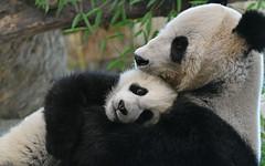 Schmusezeit (karinrogmann) Tags: grosepandas giantpanda pandagigante zooschönbrunn wien zwillinge fuban männchen