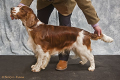 Yearling Dog - Glenbrows Picture Me Now JW (evinrisca) Tags: welshspringerspaniel wales chepstow championship dogshow welshie spaniel champshow