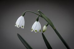Campanillas (seguicollar) Tags: flower flor campanillas jardínbotánico nikond7200 virginiaseguí plantas vegetal vegetación verde
