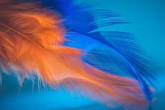 Fire and water (Ro Cafe) Tags: mm macro macromonday orangeandblue feathers backlight nikkormicro105f28 nikond600
