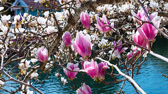 Magnolia Sulange (DVchigarev) Tags: flowers flower sochi russia south subtropical canon canon70d canonphotography sigma sigma35mm 14 art bokeh smooth 16x9 wide dslr digital water colors