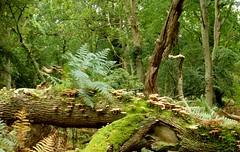New Forest NP, Hampshire, England (east med wanderer) Tags: england uk hampshire newforestnationalpark forest woodland ferns fungi