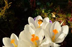 Spring 2017! 🌼 (ChemiQ81) Tags: 2017 polska poland polen polish polsko chemiq польша poljska polonia lengyelországban польща polanya polija lenkija ポーランド pólland pholainn פולין πολωνία pologne puola poola pollando 波兰 полша польшча sky outdoor wojkowice zagłębie dąbrowskie zaglebie dabrova basin spring wiosna jaro crocus krokus krokusy kwiaty flowers garden ogród działka