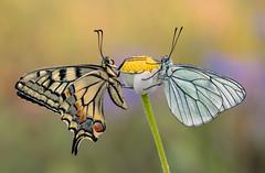 Macaon vs aporia crataegi (Marco Díaz Cádiz) Tags: butterfly flowers macro focusstacking microfourthirds