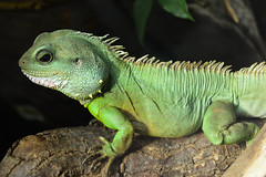 Asian Water Dragon (Physignathus cocincinus) (Seventh Heaven Photography) Tags: asian water dragon physignathus cocincinus physignathuscocincinus nikond3200 chinese thai green reptile