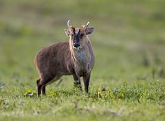 Muntjac_5200 (Peter Warne-Epping Forest) Tags: muntjac eppingupland essex peterwarne deer muntiacus