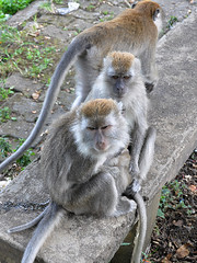 Bukittinggi - We are More Than Three ! (Drriss & Marrionn) Tags: travel bukittinggi outdoor sumatra indonesia asia southeastasia sianokcanyon kotogadangvalley animal animals macacafascicularis crabeatingmacaque longtailedmacaque monkey monkeys mammal ape cercopithecidae cynomolgusmonkey brown makaku macaca omnivore taxonomy:binomial=macacafascicularis taxonomy:genus=macaca taxonomy:species=fascicularis taxonomy:subtribe=macacina taxonomy:tribe=papionini taxonomy:subfamily=cercopithecinae taxonomy:family=cercopithecidae taxonomy:superfamily=cercopithecoidea taxonomy:infraorder=haplorhini taxonomy:suborder=euprimates taxonomy:order=primates taxonomy:magnorder=boreoeutheria taxonomy:cohort=placentalia taxonomy:infraclass=eutheria taxonomy:class=mammalia macaque primates