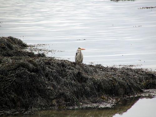 Heron at Porth Gorslwyn