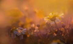 Living in a dream (Ifigeneia Vasileiadis) Tags: closeup macro daisy spring sunlight illuminated sunbathed wildflowers nikond7200 sigma18250mm haze colors vibrant nature flora