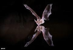 Pallid-bat takes a drink (Corey Hayes) Tags: bat nature flight small drinking pond night fast wild