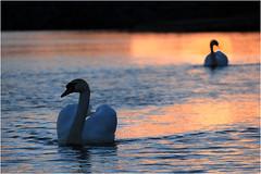 Swan (cees van gastel) Tags: ceesvangastel canoneos550d zwaan swan birds vogels natuur breda waterdonkenbreda nature