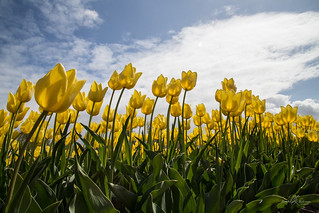 Yellow tulips dance