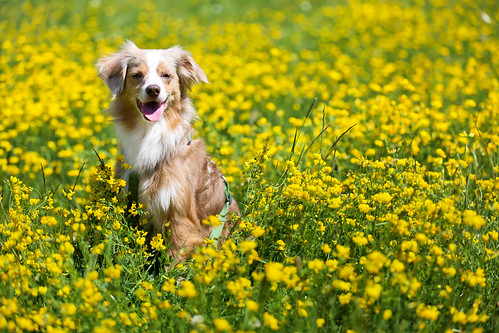 Laika with Yellow Flowers   Canada