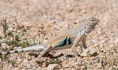 It's show time (Photosuze) Tags: lizards reptiles male breeding zebratailedlizards display desert animals nature wildlife california
