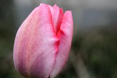 pink on bleeding edge (lumofisk) Tags: pink spring tulip nikondf 0mmf0 28mm