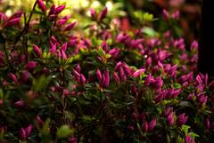 Spring (Luca Cambriglia) Tags: spring sun light flower flowers macro purple detail italy nature color colors green nikon nikkor art beauty rain water shadows life storm cloud photoraphy europe street garden d60