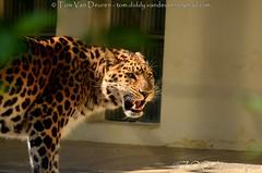 Amoerluipaard - Panthera pardus Orientalis / amurensis - Amur leopard (MrTDiddy) Tags: amoerluipaard panthera pardus orientalis amurensis amur leopard bigcat big cat grotekat grote kat feline zoogdier mammal zooantwerpen zoo antwerpen antwerp