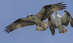 Osprey at Sleepy Hollow (Frank O Cone) Tags: osprey sleepyhollow wenatcheeriver birds