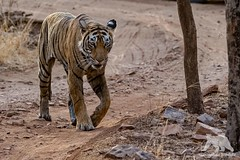 Bengal Tiger (fascinationwildlife) Tags: animal mammal wild wildlife tiger tigress female predator big cat bengal nature natur national park india indien asia endangered species ranthambhore forest summer road