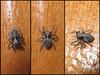 Pseudeuophrys lanigera (Didier Auberget Photographie) Tags: macro arthropoda arthropode chelicerata chélicérate chélicéré arachnida arachnide araneae aranéide araneomorphae aranéomorphe salticidae saltique salticide araignéesauteuse euophryinae euophryini pseudeuophrys araignée spider pseudeuophryslanigera jumpingspider