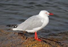Silver Gull Larus novaehollandiae (Neil Cheshire) Tags: silvergull larusnovaehollandiae gull laridae mouetteargentee silberkopfmowe gaviotaplateadaaustraliana