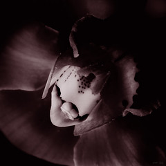 Orchids (david.pitcher) Tags: mamiyarz67proii 140mmf45lamacro fujiacros100 kodakhc110