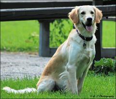 Taking a Break (John Neziol) Tags: kjphotography goldenretriever fieldretriever pointynoseddogs interestingdogposes smileofadog outdoor dog dognose dogpark pet animal scarborough ontario