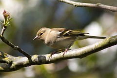 Female Chaffinch (Kay Musk) Tags: chaffinch fringillacoelebs bird nature wildlife wild nikond3200 essex uk gardenwildlife ngc npc coth