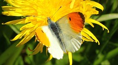 Orange Tip 290417 (Explored) (Richard Collier - Wildlife and Travel Photography) Tags: wildlife naturalhistory insects british macro butterflies orangetip insectsonflowers