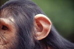 ZOO0074-2 (Akira Uchiyama) Tags: 動物たちのいろいろ 耳 耳チンパンジー