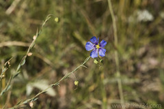 """Wild Blue Flax • <a style=""""font-size:0.8em;"""" href=""""http://www.flickr.com/photos/63501323@N07/33964478500/"""" target=""""_blank"""">View on Flickr</a>"""