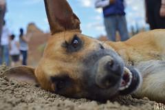 Miradas (Tato Avila) Tags: colombia colores cálido cielos perro dog desierto desiertodelatatacoa hocico bigotes miradas ojos peludo piedras piso huila colombiamundomágico