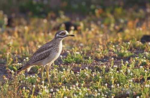 """Eurasian stone-curlew (Burhinus oedicnemus), """"El Jable"""" plains, Lanzarote"""